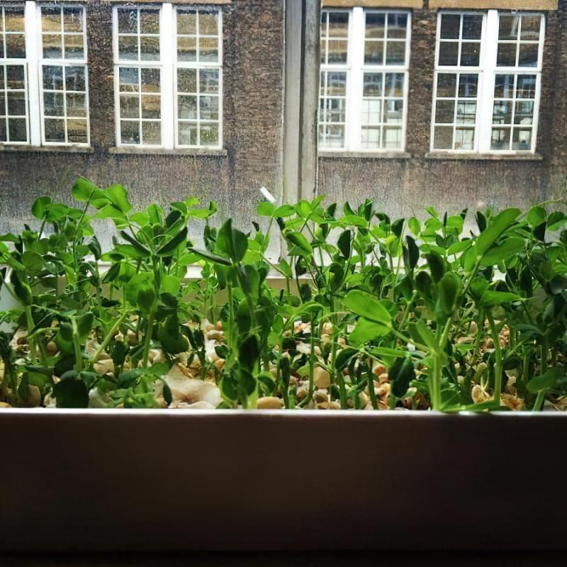 Вирощування гороху в домашніх умовах 5