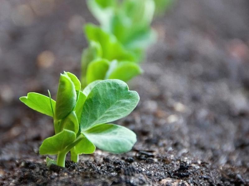 Вирощування гороху в домашніх умовах 1