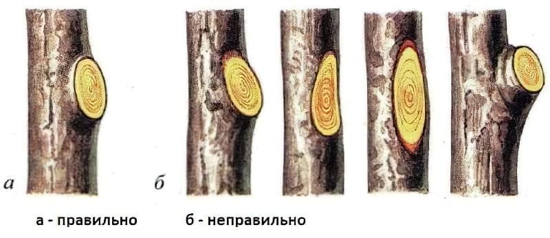 Як обрізати калину восени? 2