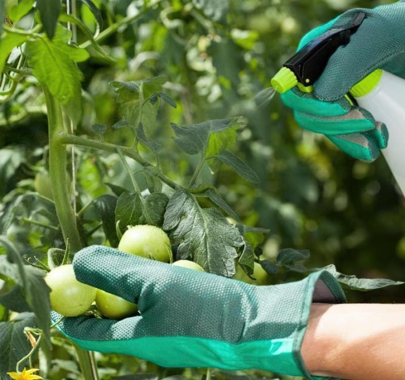 Як прискорити дозрівання томатів? 2