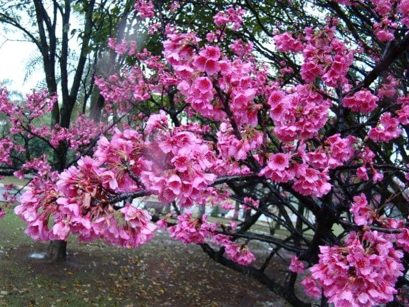 Яку сакуру вибрати для свого саду? 2