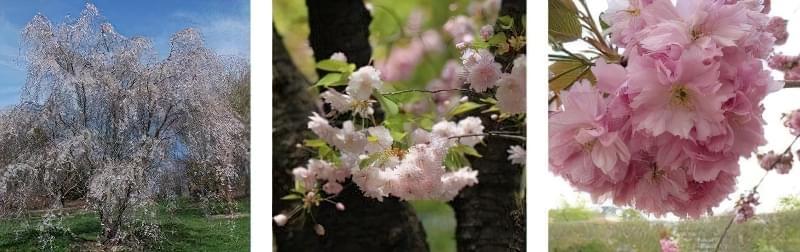 Яку сакуру вибрати для свого саду? 3