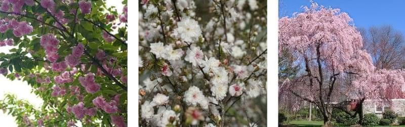 Яку сакуру вибрати для свого саду? 4