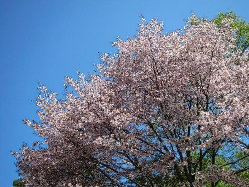 Вишня сахалінська (Cerasus sachalinensis)
