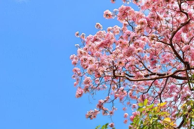 Яку сакуру вибрати для свого саду? 1
