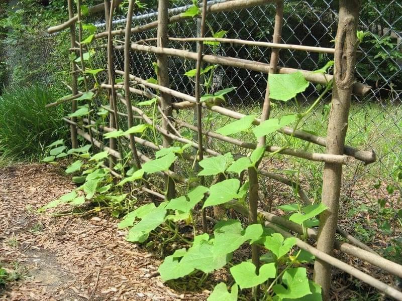 10 важливих правил вирощування огірків у відкритому грунті 3