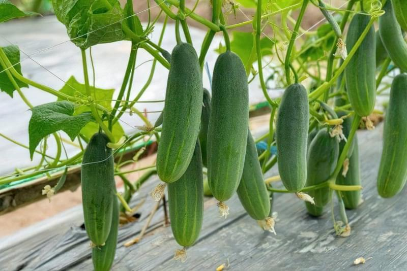 10 важливих правил вирощування огірків у відкритому грунті 4