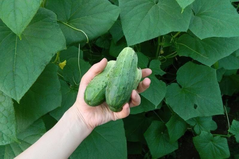 10 важливих правил вирощування огірків у відкритому грунті 5