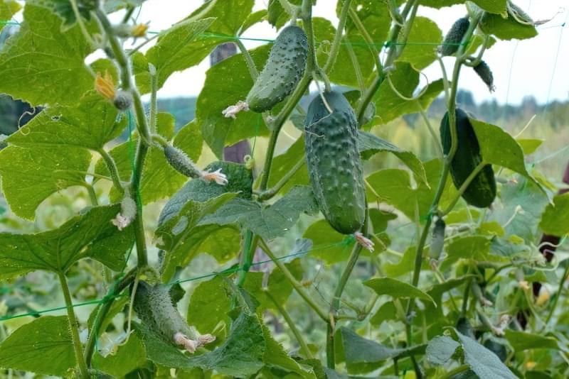 10 важливих правил вирощування огірків у відкритому грунті 1