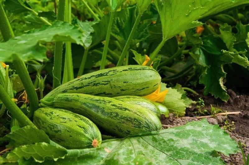 8 хитрощів для великого врожаю кабачків 1