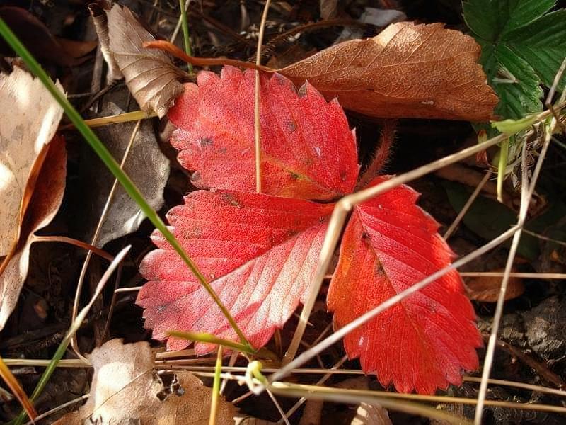Червоніє листя полуниці: значення і що робити 3