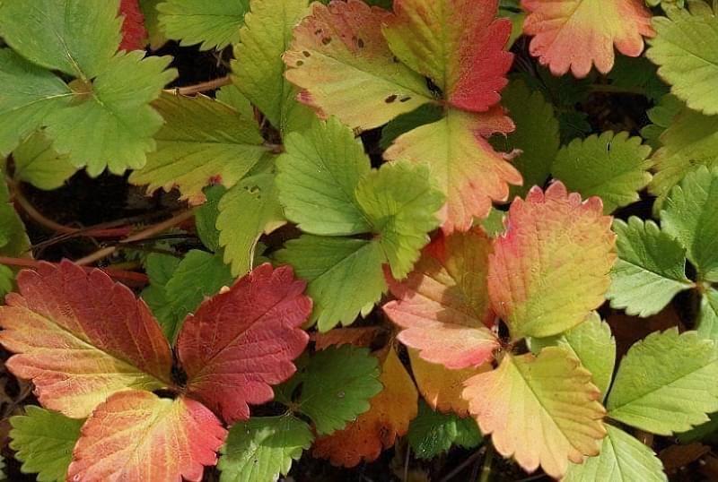 Червоніє листя полуниці: значення і що робити 1