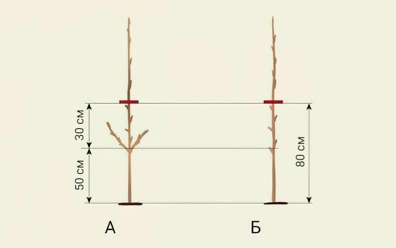 Формуюча обрізка яблуні — від саджанця до дорослого дерева 2