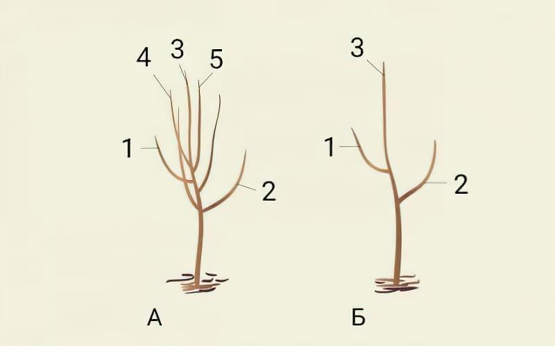 Формуюча обрізка яблуні — від саджанця до дорослого дерева 3