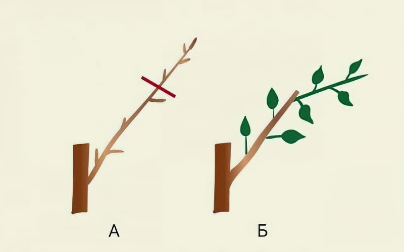 Формуюча обрізка яблуні — від саджанця до дорослого дерева 5