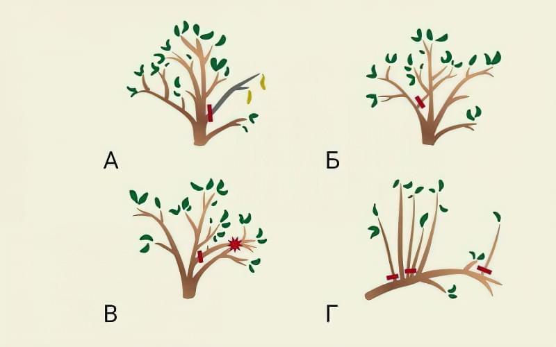 Формуюча обрізка яблуні — від саджанця до дорослого дерева 7