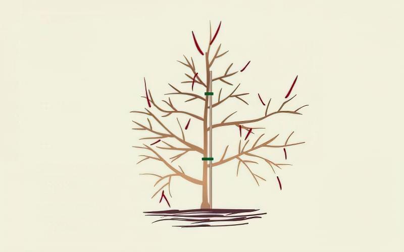 Формуюча обрізка яблуні — від саджанця до дорослого дерева 8