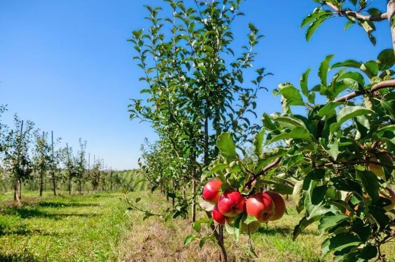 Формуюча обрізка яблуні — від саджанця до дорослого дерева 1