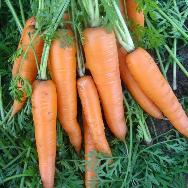 Кращі сорти моркви на зиму 2