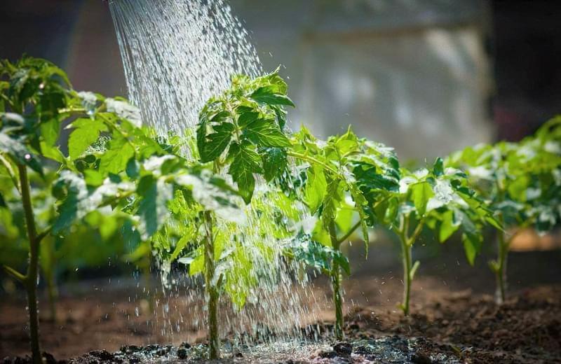 полив розсади помідор