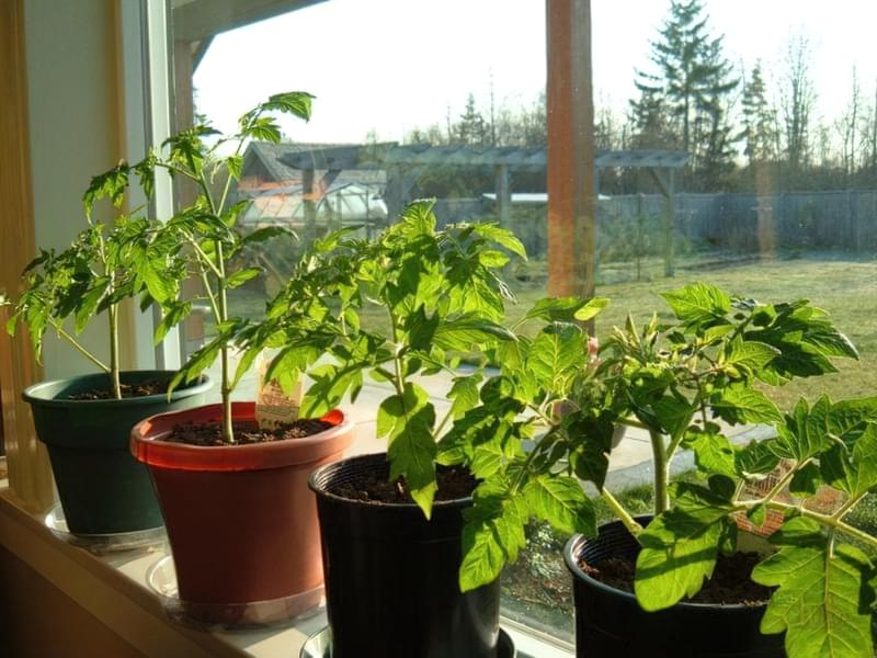 розсада томатів