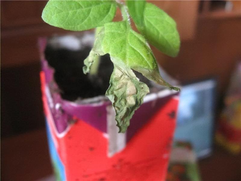 Опадає листя з розсади томатів 1