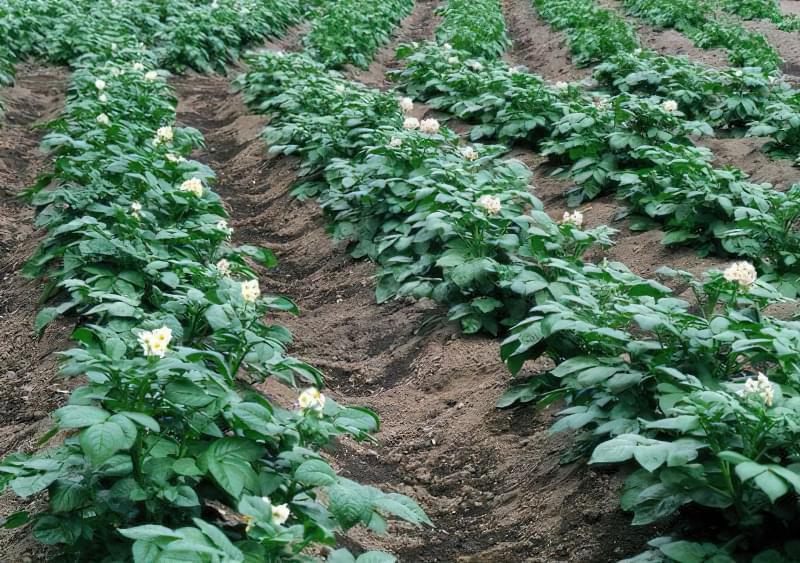 Полив картоплі для підвищення врожайності 2