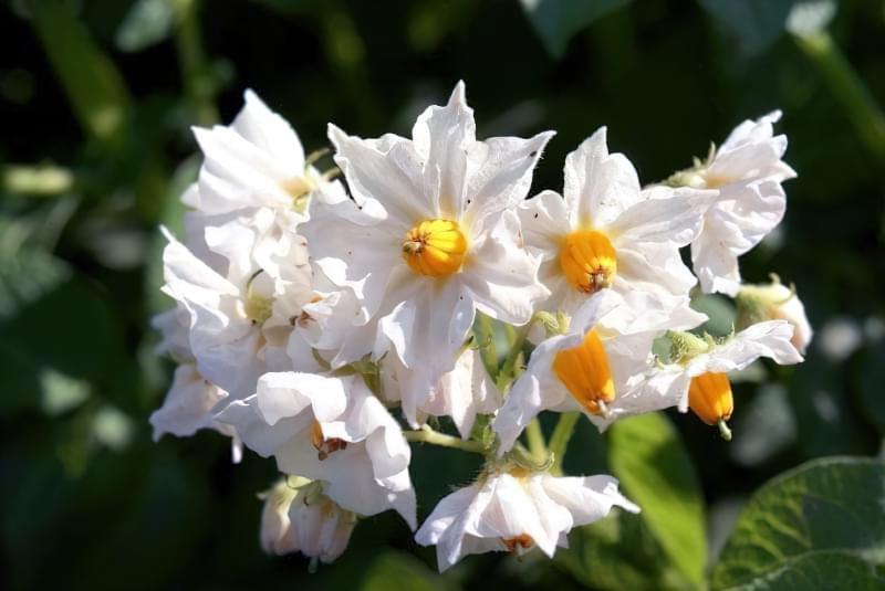 Квітки картоплі