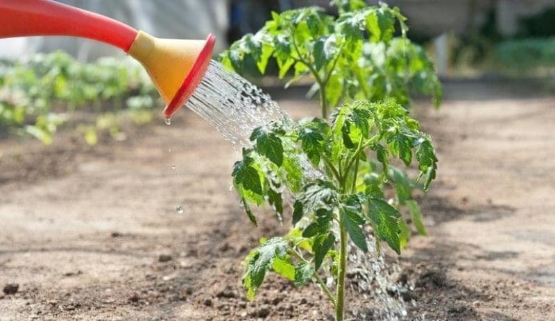 Полив томатів холодною водою 1