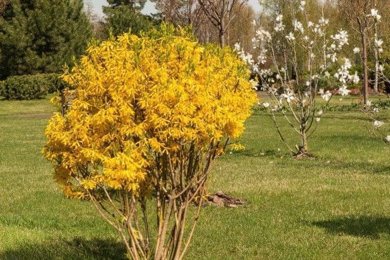 Весняна обрізка декоративних кущів і багаторічних квітів 2