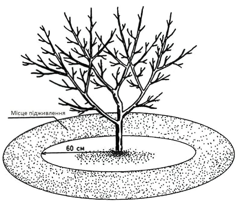 Схема весняного підживлення яблунь
