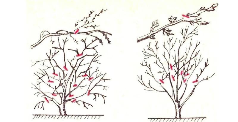 Схема обрізки кущоподібної і деревовидної вишні