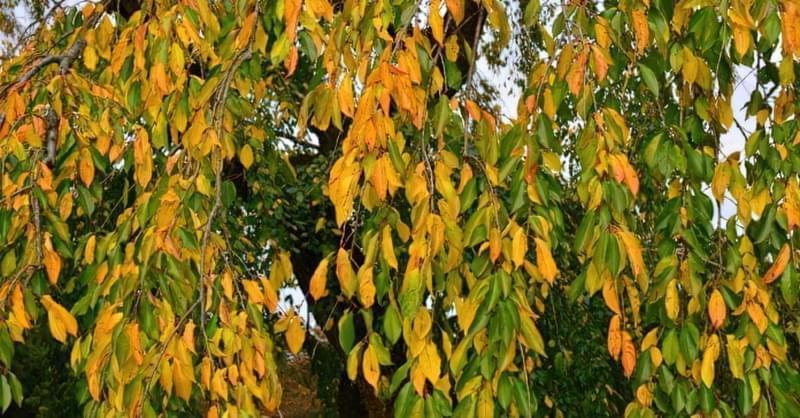 Осіння вишня