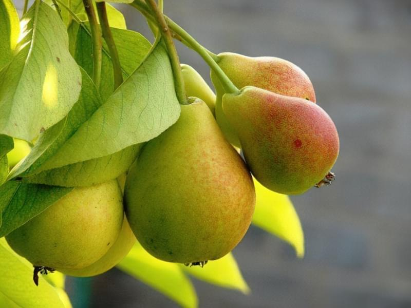 Як прищепити грушу на яблуню? 1