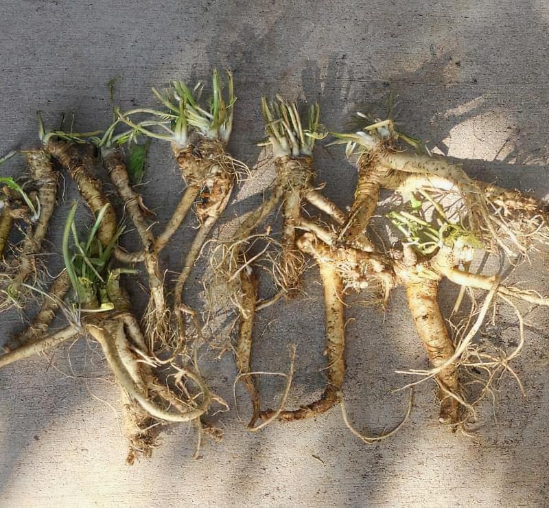 Розмножуємо хрін в городі швидко і правильно 2
