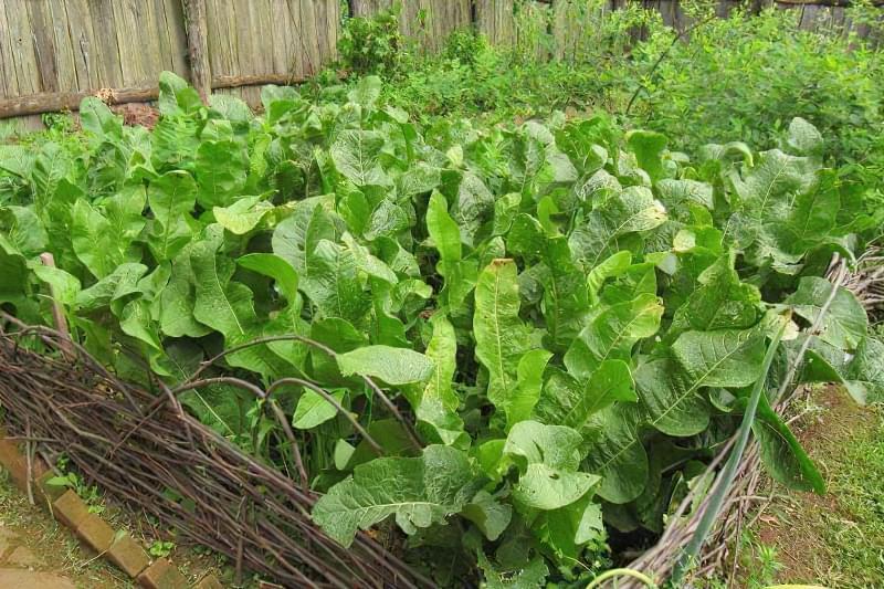 Розмножуємо хрін в городі швидко і правильно 1