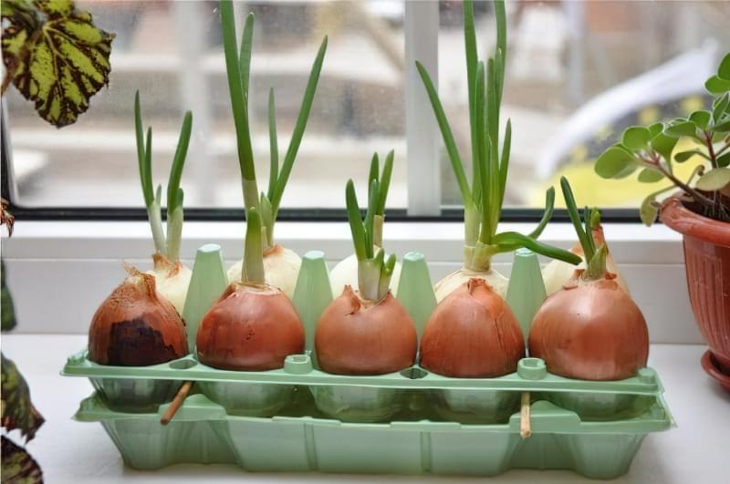 Як виростити вдома зелену цибулю 2