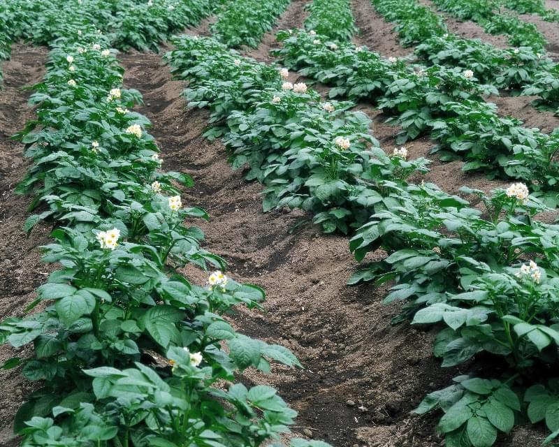 Чи поливають картоплю після цвітіння? 1