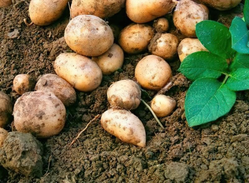 Чи потрібно поливати картоплю 2