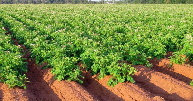 Чи треба поливати картоплю в серпні? 1