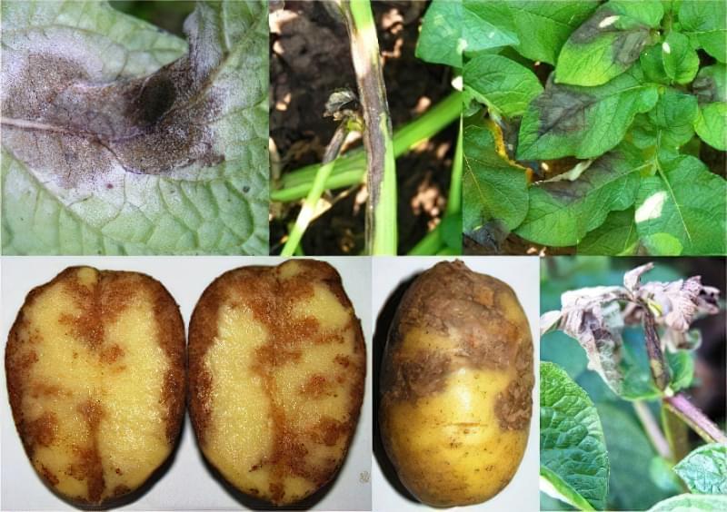 Фітофтороз картоплі: симптоми і профілактика 2