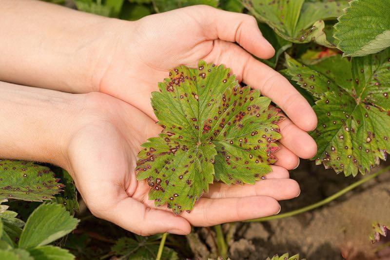 Хвороби і шкідники полуниці - головний ворог хорошого врожаю 1