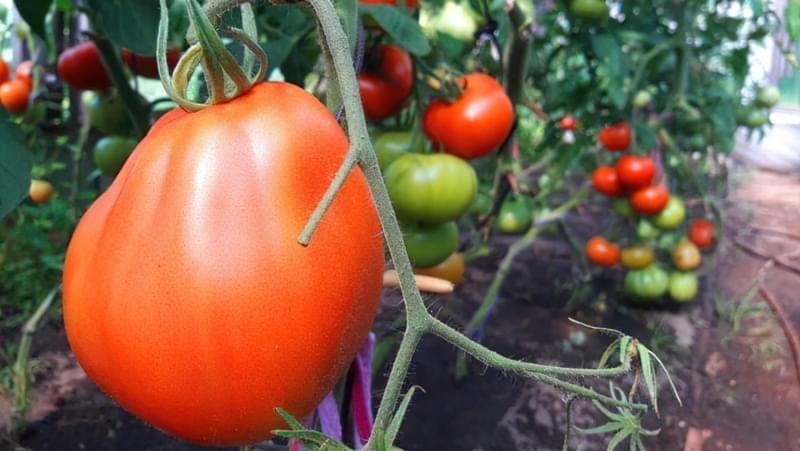 Сорт помідорів Пузата Хата 5