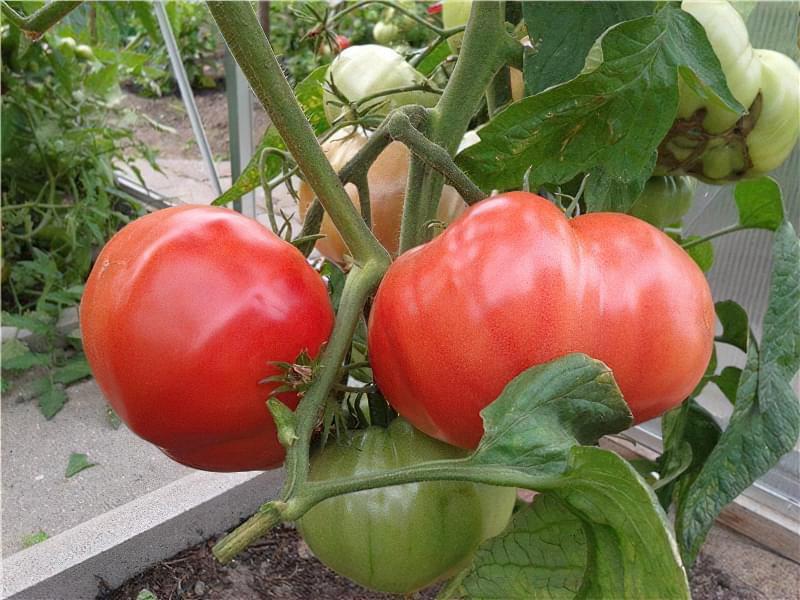 Сорт томату Рожевий слон 1
