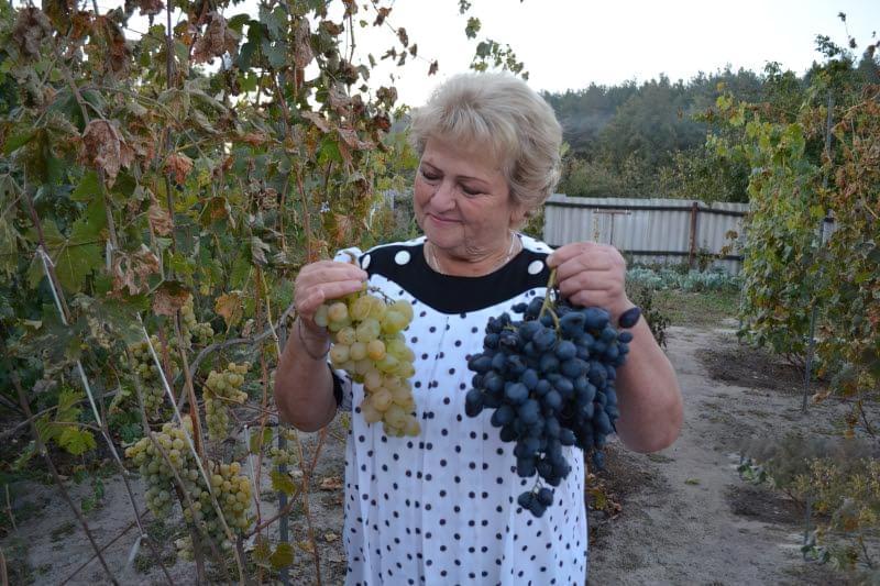 Виноград Монарх – опис сорту, фото, відгуки, особливості вирощування 2