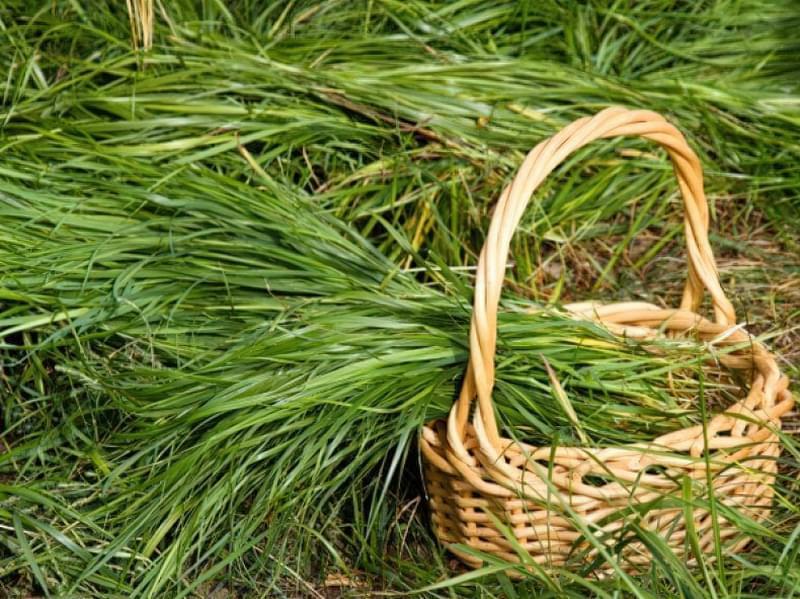 Як виглядає і де застосовується трава Зубрівка 2
