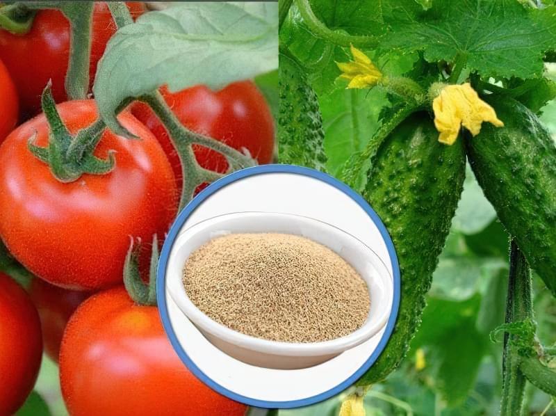 Для чого потрібні дріжджі на помідорних і огіркових грядках 1