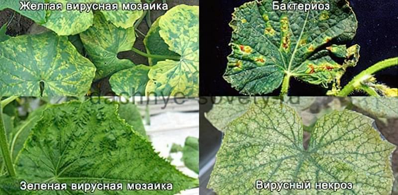 Плями на листках огірків може викликати мозаїка