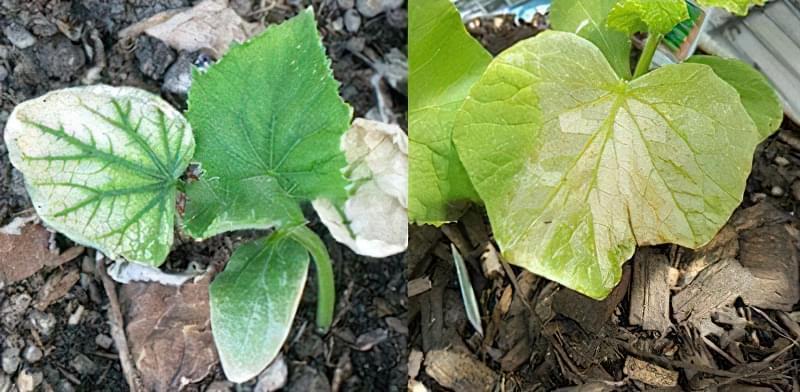Жовті плями на листках огірка: чим обробити, як запобігти 1