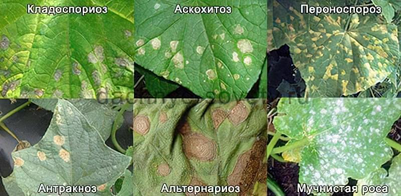 Хвороба огірків - жовті плями на листках
